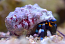 Electric Blue Hermit Crab
