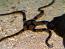 Tiger Striped Serpent Star