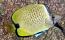 Lemon Butterfly