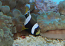 Wide Band Clownfish