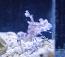 Harlequin Shrimp  ***Eats Starfish***