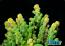 ORA Frogskin Acropora