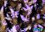 ORA Miami Orchid Acropora