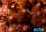 ORA Red Planet Table Acropora