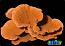 ORA Orange Montipora Capricornis