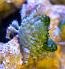 Emerald Crabs (3-LOT)