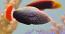 Red Tail Tamarin Wrasse