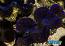 "ORA Tridacna maxima 1.5"" ***FIRST GRADE***"