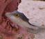Caribbean Sharpnose Puffer