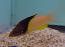 Coral Hogfish