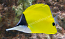 Longnose Butterfly, Small Hawaiian