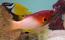 Axilspot Hogfish