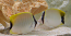 Reef Butterfly