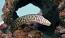 Chainlink Moray Eel