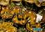 "ORA Gold Tridacna maxima, 2"""