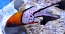 Lyretail Hogfish (Med)