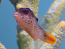 Fiji Orangetail Puffer