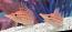 Hawaiian Longnose Hawkfish - Mated Pair!