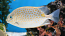Guttatus Rabbitfish