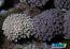 ORA Marshall Islands Goniopora