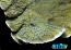 ORA Blue Polyp Montipora Capricornis