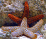Orange Ridge Starfish (Not Reef Safe)