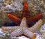 Orange Ridge Starfish (Not Reef Safe)