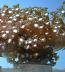 Alveopora Daisy Coral