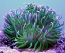 Long Tentacle Anemone, Green