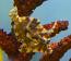 Aiptasia-Eating Filefish