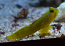 Yellow Watchman Goby Small