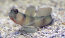 Giant Shrimp Goby