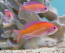 Red Tip Truncate Anthias