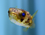 Spiny Box Puffer, Medium