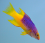 Spanish Hogfish, Small