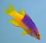 Spanish Hogfish, Small