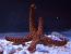 Rusty Echinaster Starfish