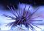 Purple Spine Black Urchin