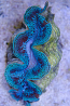 """Tridacna maxima Clam 5"""""""