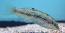 Greenback Wrasse, Juvenile