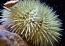Shortspine Urchin