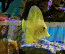 Yellow Tang, Captive-Bred, Small