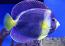 "Scribbled Angelfish, 5-6"""