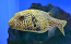 Map Puffer, Large