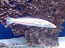 Candy Cane Wrasse