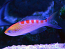 Red Saddled Anthias
