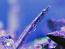 Blue Throated Pike Blenny