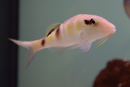 Dot & Dash Goatfish