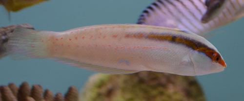 Spotfin Rainbow Wrasse