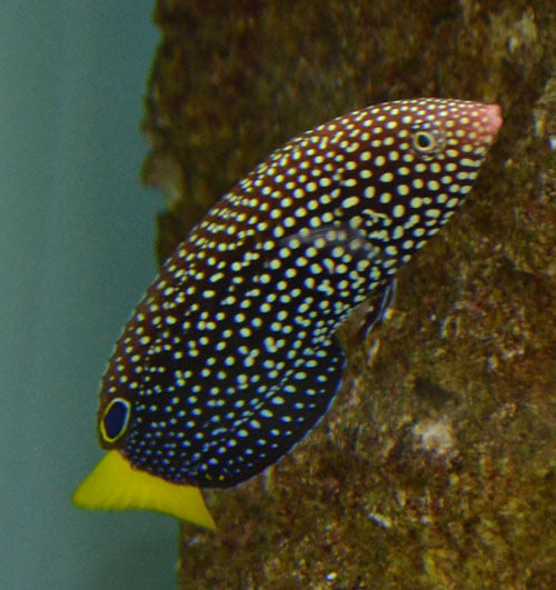 Yellowtail Tamarin Wrasse
